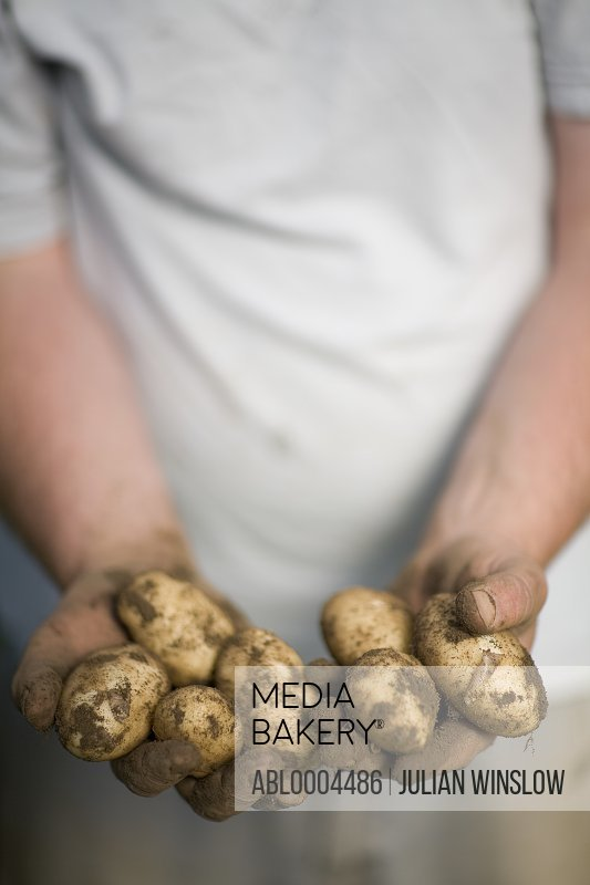 Close up of farmer's hands holding new potatoes