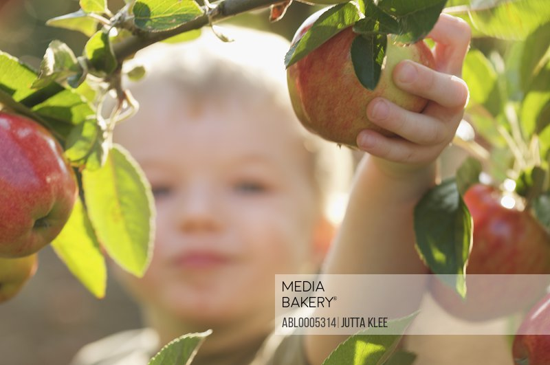 Close up of boy picking an apple from an apple tree