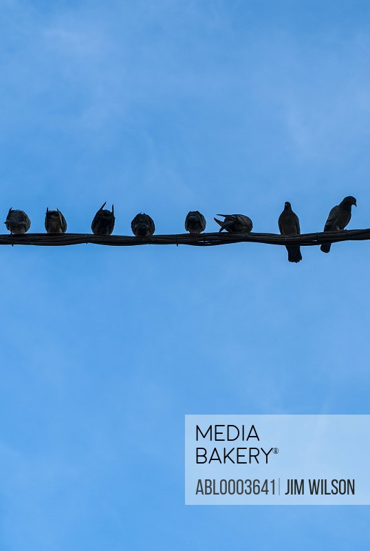Pigeons Lined up on a  Wire against Blue Sky