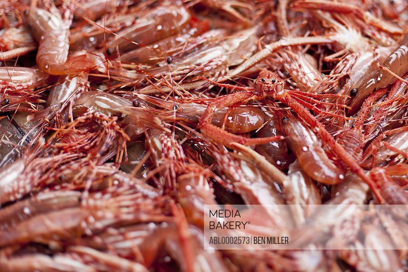 Freshly Caught Prawns and Young Snow Crab