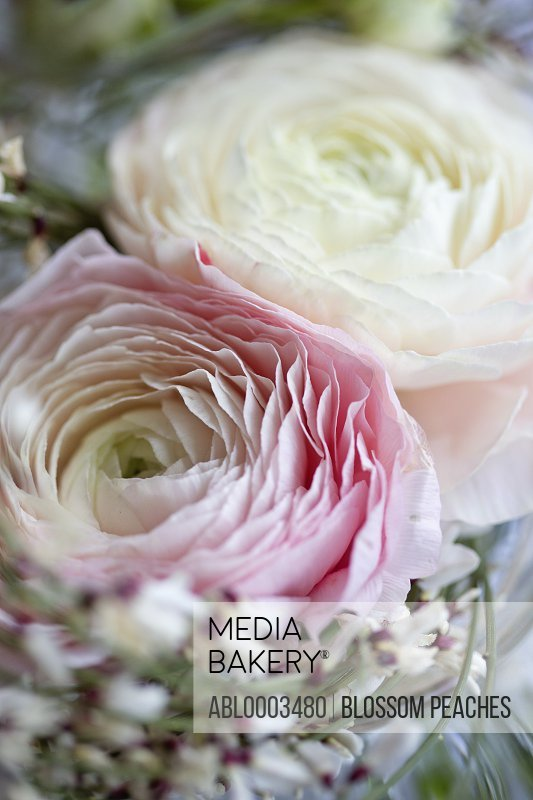 White and Pink Persian Buttercup Flowers