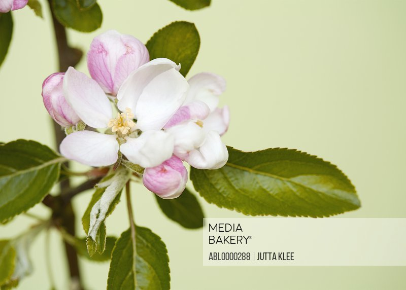 Close up of apple tree blossom