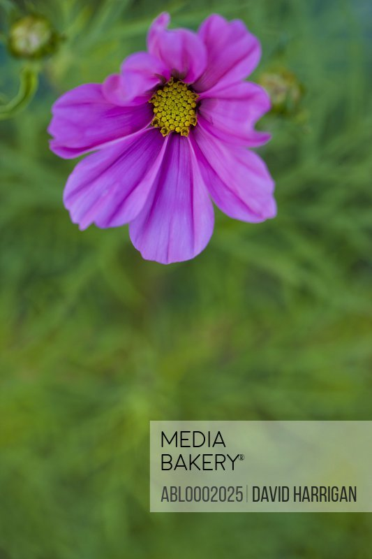 Bright Pink Cosmos Flower