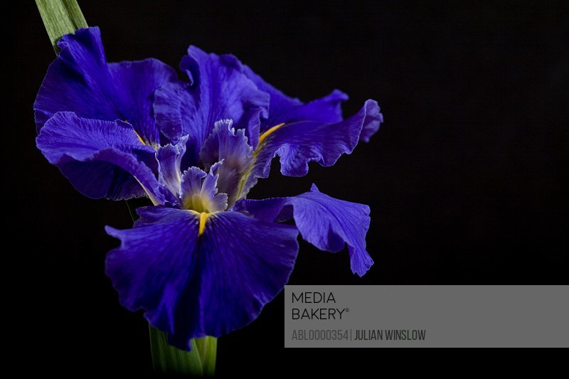 Bright blue iris
