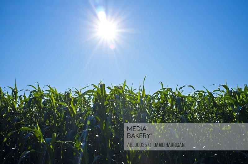 Sun Shining over Corn Field