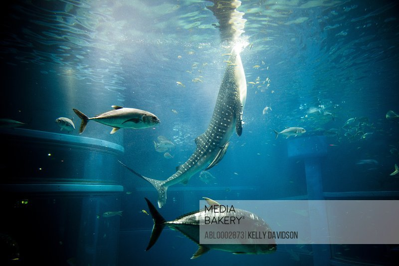 Whale Shark and Fish Swimming in Aquarium Tank