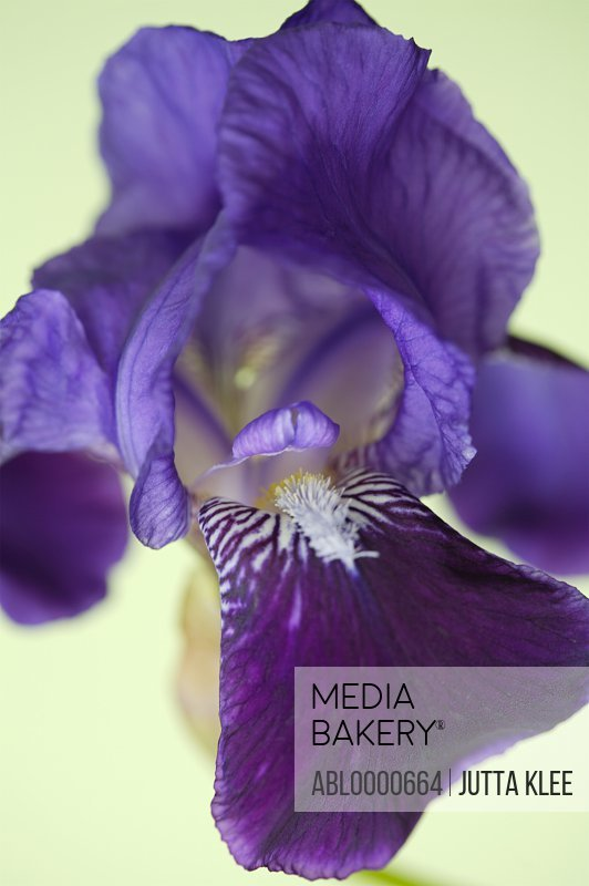 Extreme close up of a bright purple iris