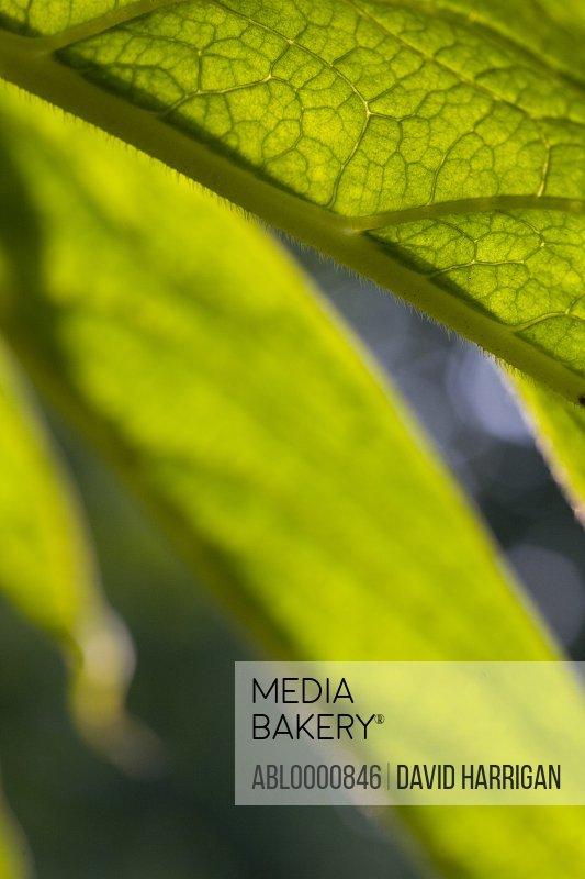 Close up of an echium leaf - Echium pininana