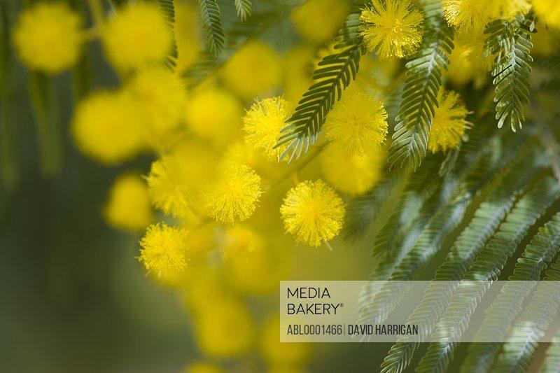 Extreme close up of mimosa tree blossom - Albizia julibrissin
