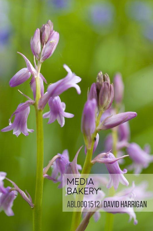 Close up of wild garlic blossom - Allium