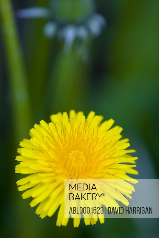 Close up of a yellow dandelion flower - Taraxacum