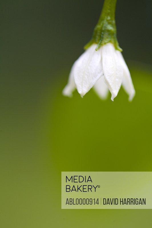 White bell pepper flower - Capsicum annuum