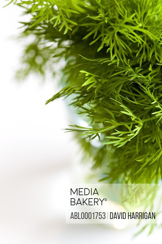 Extreme close up of dill leaves