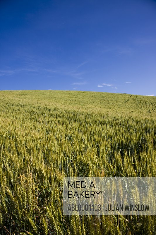 Unripe wheat field and blue sky