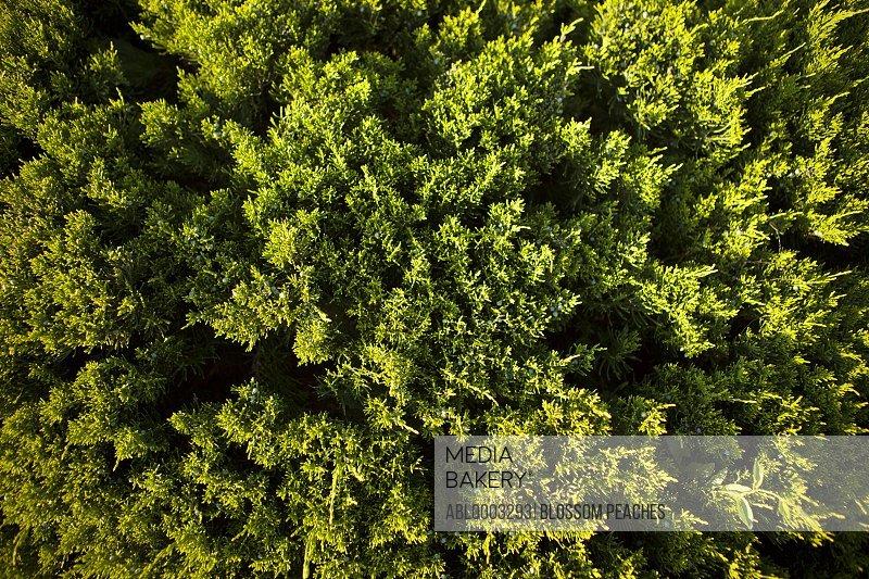 Leyland Cypress Foliage, Full Frame