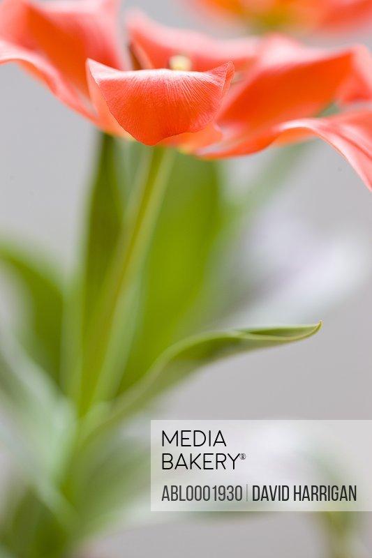 Red Waterlily tulip, Tulipa kaufmanniana