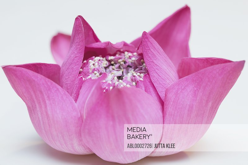 Bright Pink Lotus Flower