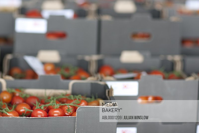 Rows of crates filled with vine tomatoes