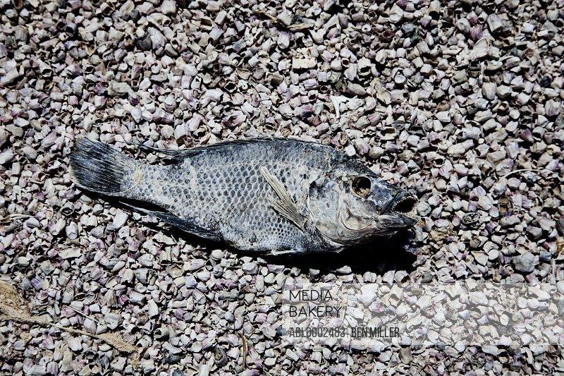 Dead Fish on Beach Gravel