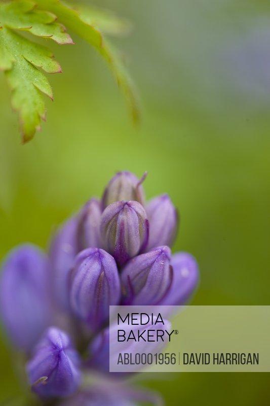 Bluebell bud, Hyacinthoides non-scripta