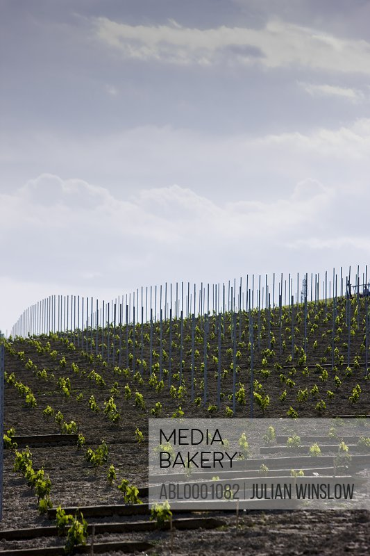 Rows of vine seedlings and support poles