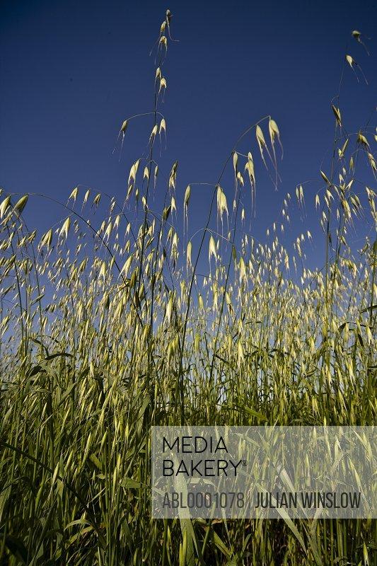Wild oat and blue sky - Avena fatua