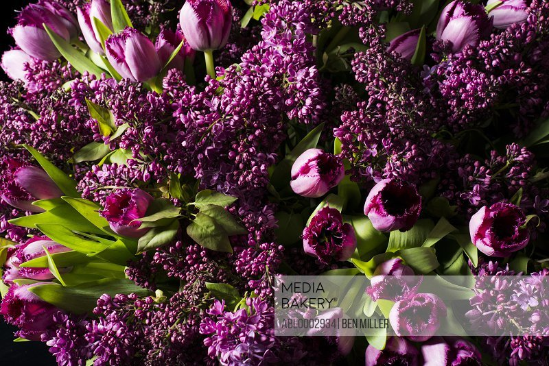 Close up of Pink Tulips and Lilac Flowers