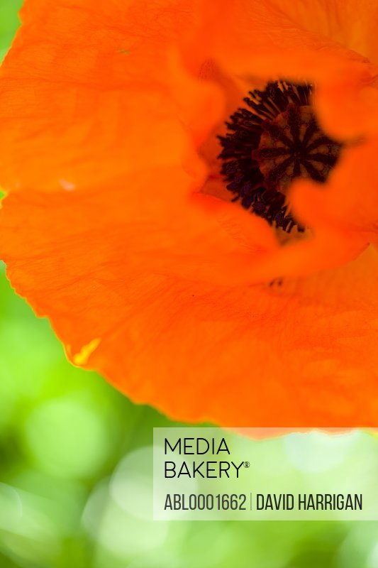Extreme close up of red poppy