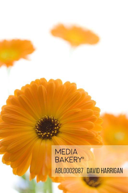 Orange Marigold Flowers, Calendula