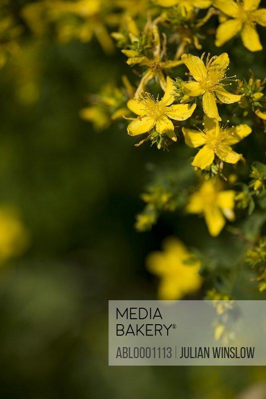 St John's wort flowers - Hypericum perforatum