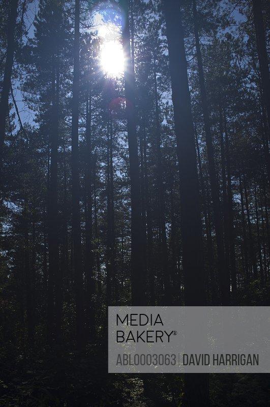 Sun Shining Through Pine Trees