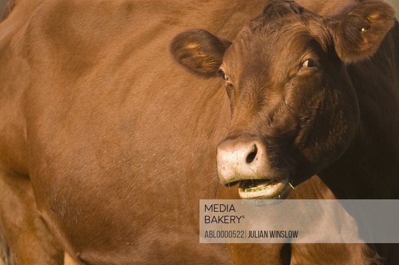 Extreme close up of brown cow with mouth open