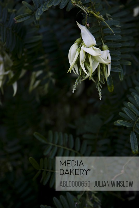 White lobster claw                     Clianthus puniceus