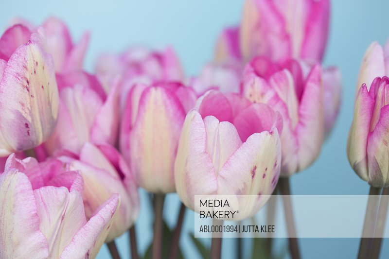 Close up of Pink Tulips, Tulipa