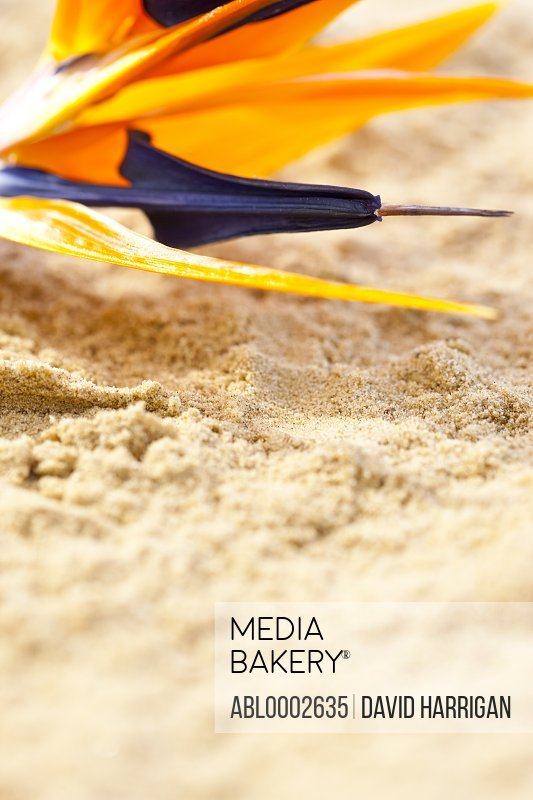Bird of Paradise Flower on Sand