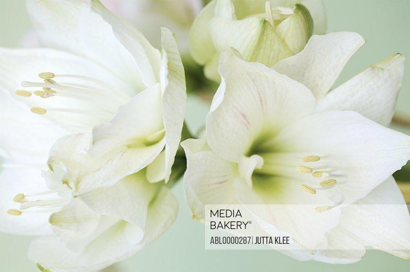 Extreme close up of white lilies (Lilium longiflorum)