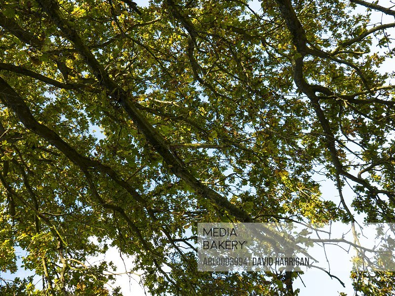 Leafy Branches of Oak Tree