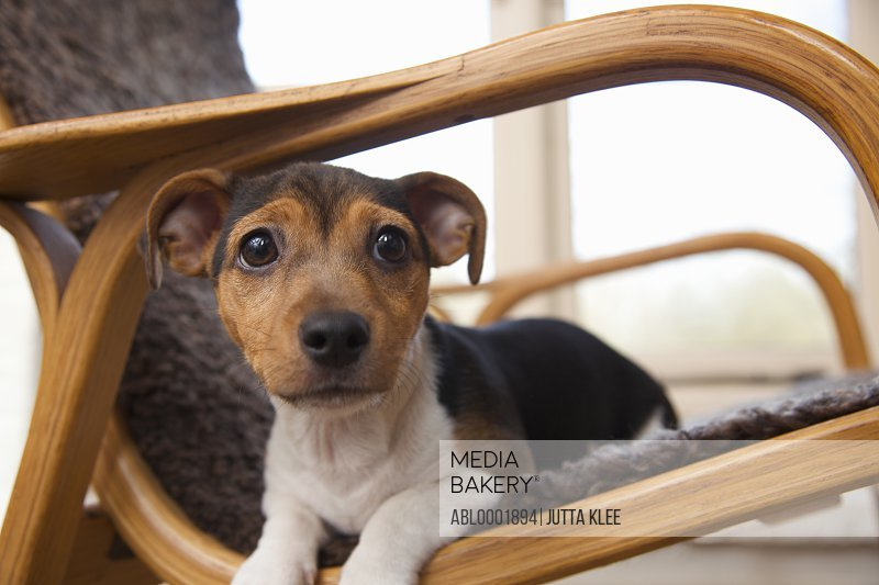 Jack Russell terrier puppy lying on an armchair