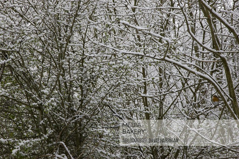 Robin on tree branches covered in snow - Erithacus