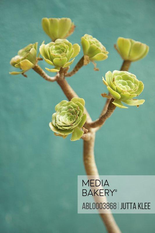Succulent Plant, Close-up view