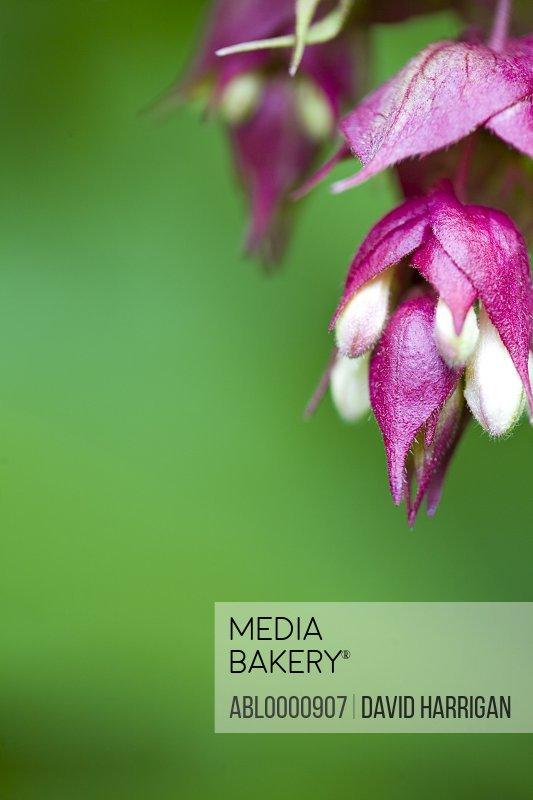 Close up of leycesteria flowers - Leycesteria formosa