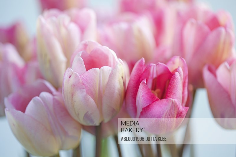 Close up of Pink Tulips, Tulipa