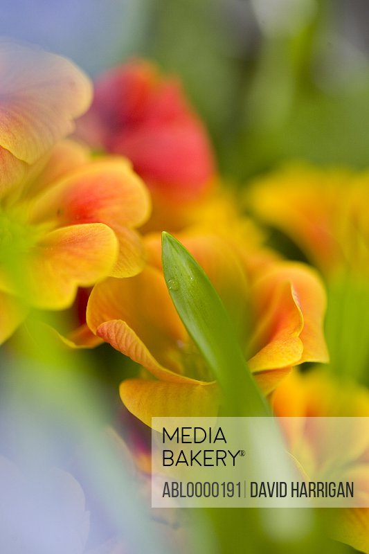 Close up of yellow and red flowers
