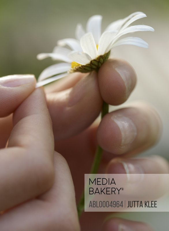 Close up of a girl hands plucking a petal from a daisy
