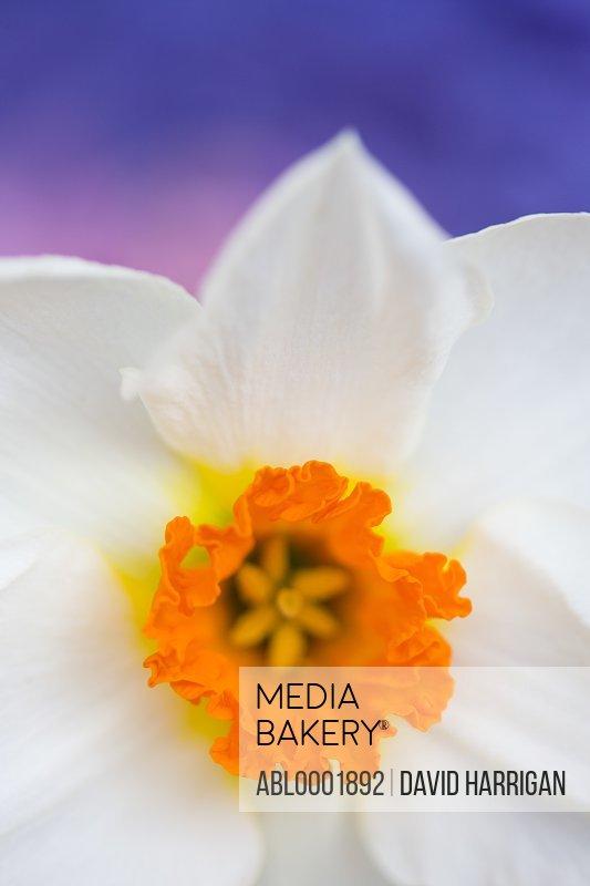 Detail of a narcissus flower, Narcissus Geranium Tazetta