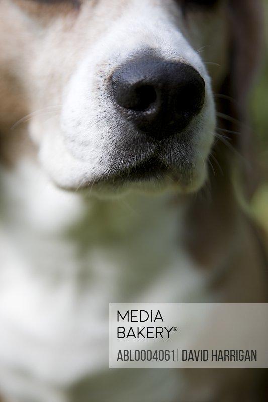 Close up of a beagle's nose