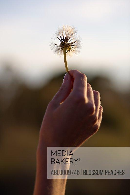 Woman's Hand Holding Dandelion