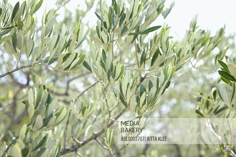 Close up of Olive Branches