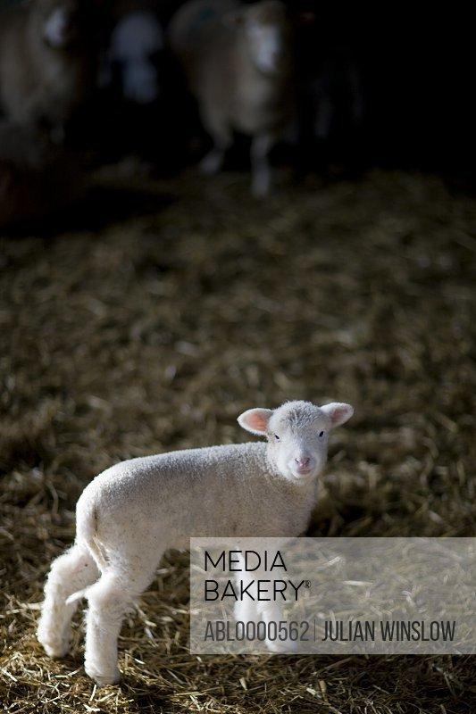 Portrait of lamb