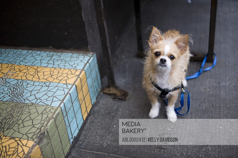Long Haired Chihuahua Tied Up with Leash Outdoors